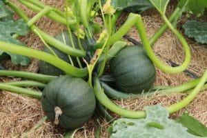 semences de courgette ronde de nice biologique de l'atelier des bons plants