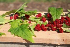 graines de l'atelier des bonsplants- épinard fraise bio