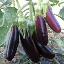 aubergine little finger bio